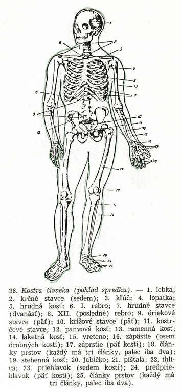 Kreslenie ľudskej postavy. Kreslenie ľudskej postavy. Kostra 01