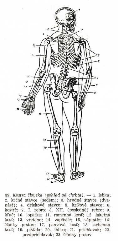 Kreslenie ľudskej postavy. Kreslenie ľudskej postavy. Kostra 02