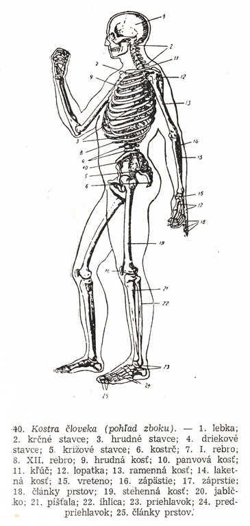 Kreslenie ľudskej postavy. Kreslenie ľudskej postavy. Kostra 03