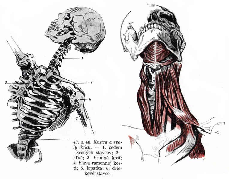 Kreslenie ľudskej postavy. Kreslenie ľudskej postavy. Kostra a svaly 003