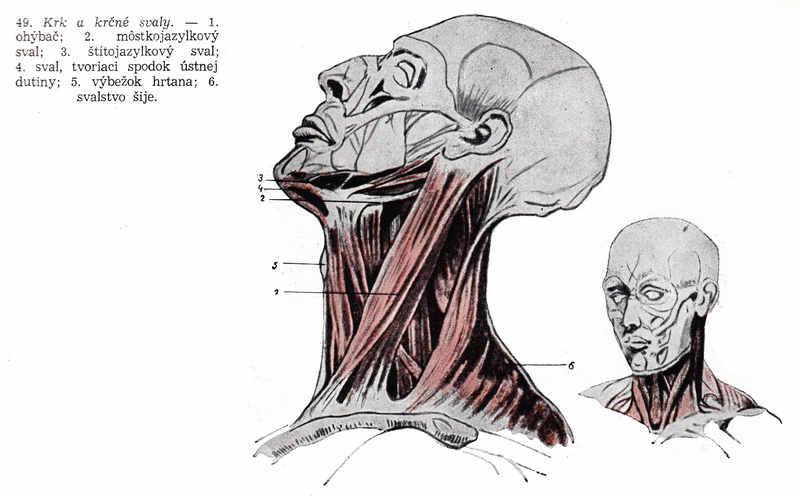 Kostra a svaly 004 Kreslenie ľudskej postavy. Kreslenie ľudskej postavy. Kostra a svaly 004