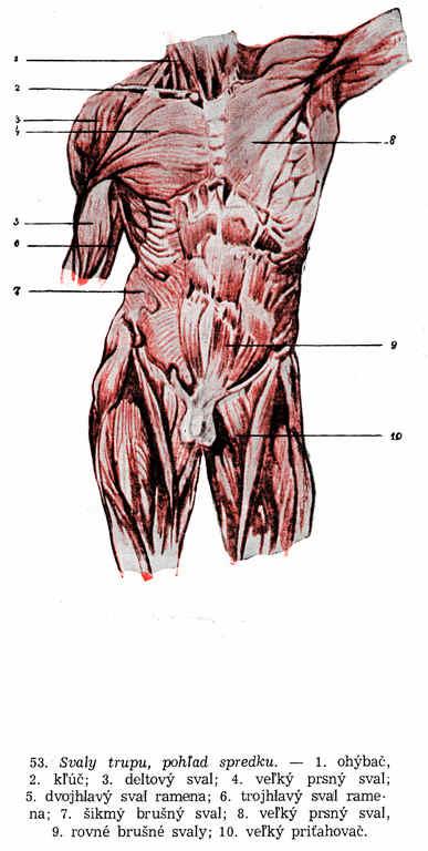 Kreslenie ľudskej postavy. Kreslenie ľudskej postavy. Kostra a svaly 007